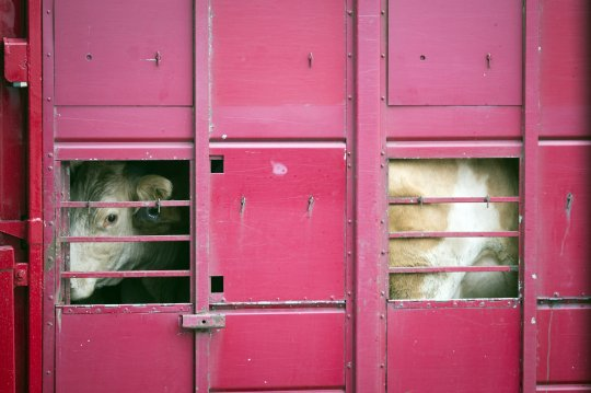 cow 01 transport 01